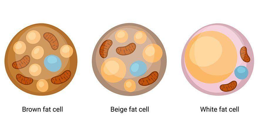 différence entre les adipocytes blancs, bruns et beiges