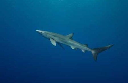 requin blanc dans la mer